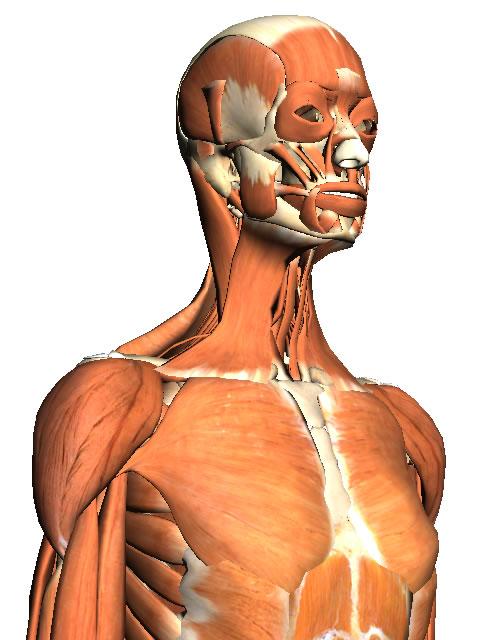 Body Browser の筋肉サンプル画像