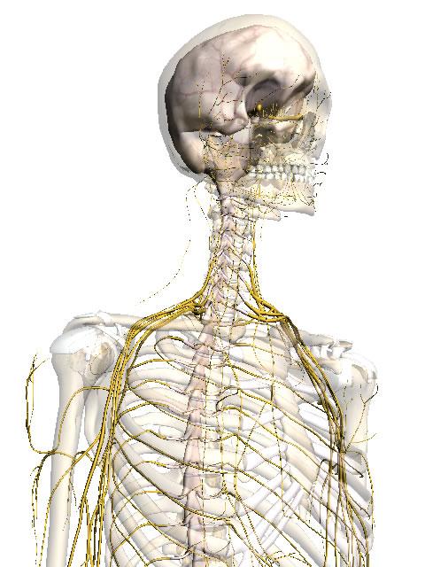 Body Browser の神経サンプル画像